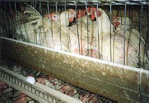 Unhumanely Kept Hens at an Egg Farm