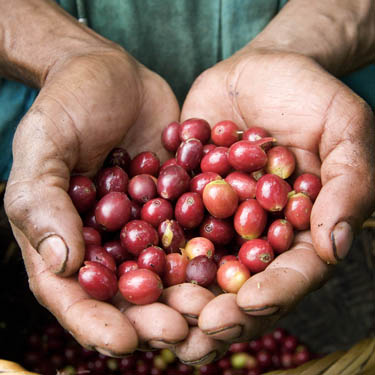 Raw Fair Trade Cherry Coffee Beans from Nicaragua
